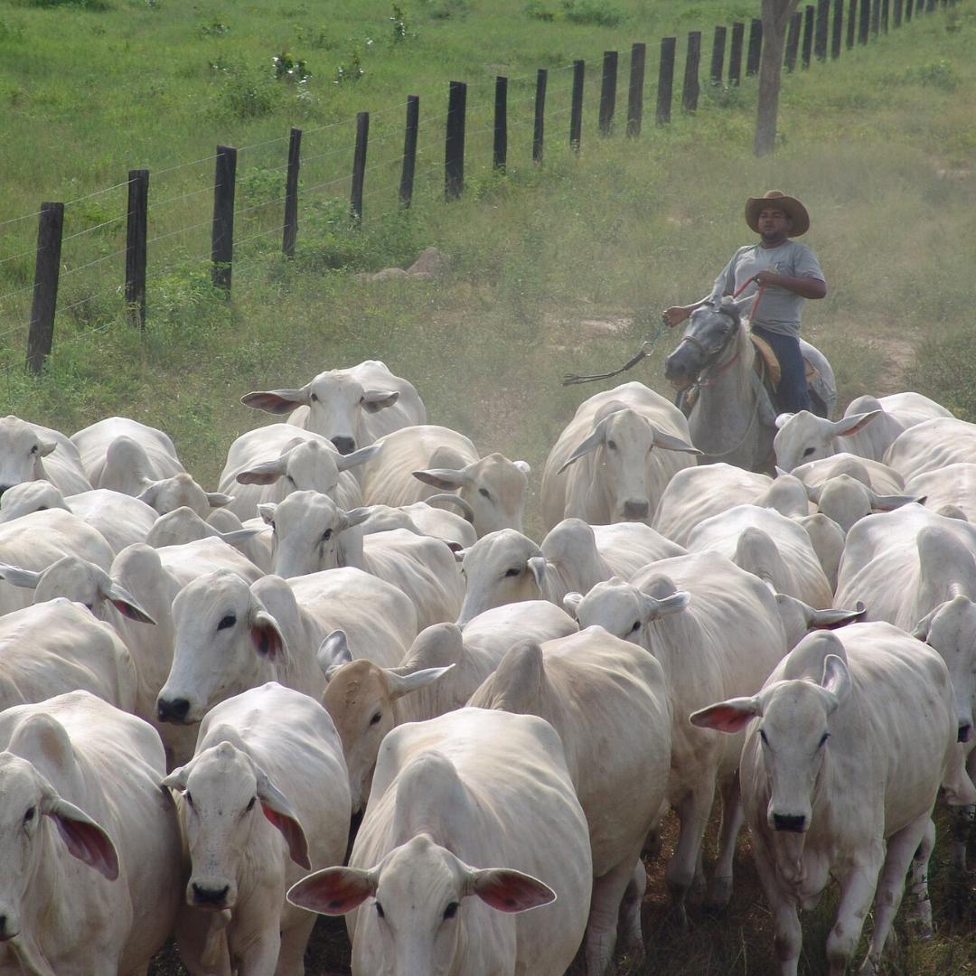 Coronavírus e exportação de carne bovina na pecuária de corte