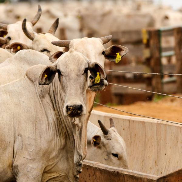 atividade pecuária bovinos