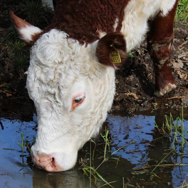 Bovino durante o consumo de água em um açude