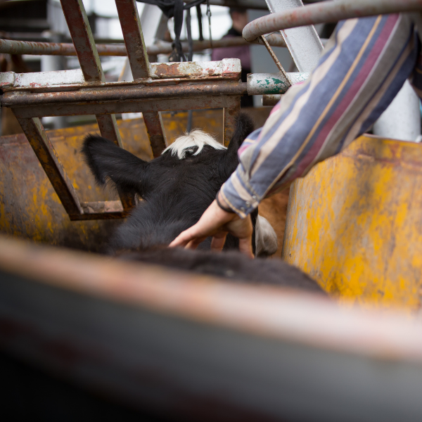 contenção de bovinos para vacinação