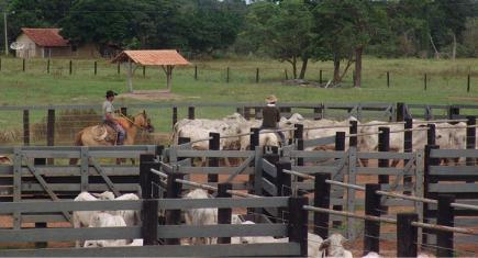 Peão manejando gado