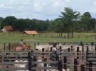 Peão manejando gado priorizando reduzir estresse